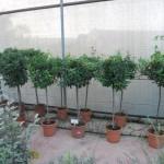 arbustos de copa