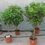 arbustos de copa 2